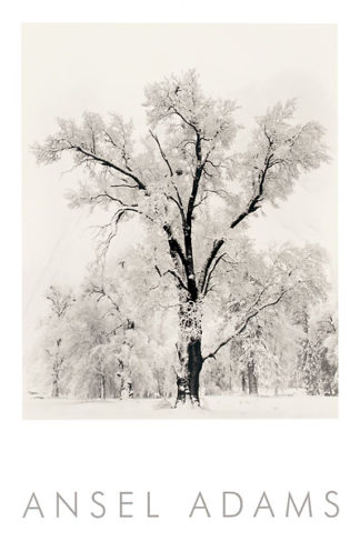 A18 - Adams, Ansel - Oak Tree