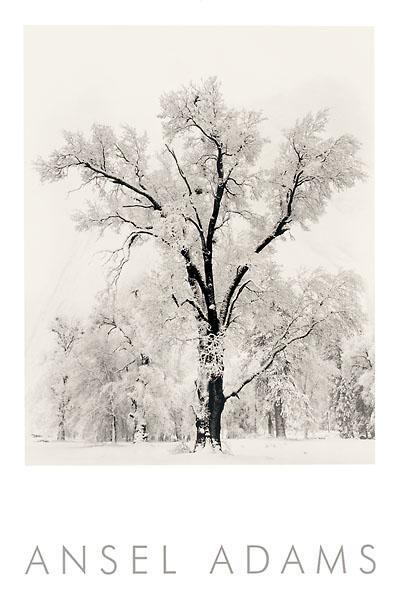 A18 - Adams, Ansel - Oak Tree
