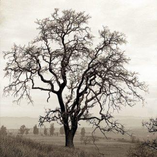 ABFR378 - Blaustein, Alan - Sonoma Oak #1