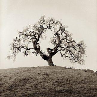 ABFR379 - Blaustein, Alan - Sonoma Oak #2