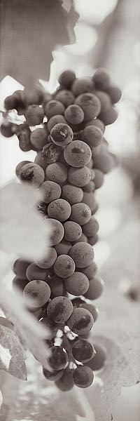 ABGR12 - Blaustein, Alan - Grapes Pano #2