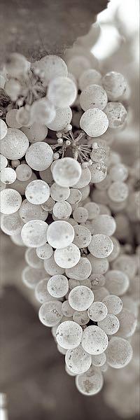 ABGR16 - Blaustein, Alan - Grapes Pano #13