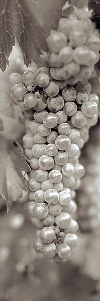 ABGR21 - Blaustein, Alan - Grapes Pano #18