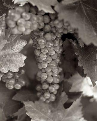 ABGR28 - Blaustein, Alan - Grapes #22