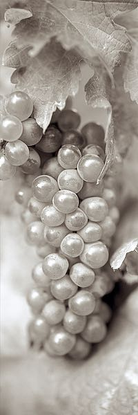 ABGR5 - Blaustein, Alan - Grapes Pano #5