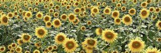 ABITD272 - Blaustein, Alan - Tuscan Sunflower Pano #1