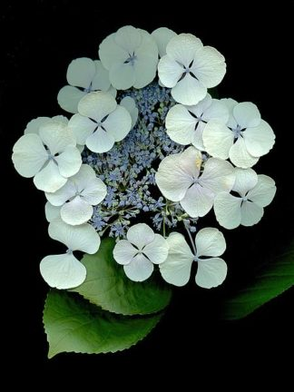 ABLF169B - Blaustein, Alan - Floral Color #25