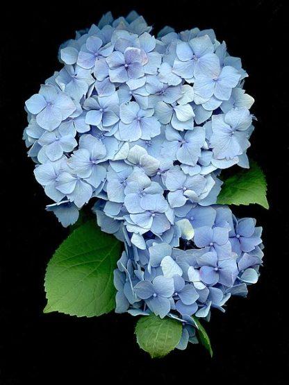 ABLF170B - Blaustein, Alan - Floral Color #26
