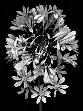 ABLF171A - Blaustein, Alan - Floral B-W #27
