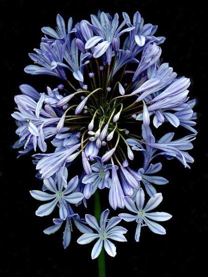 ABLF171B - Blaustein, Alan - Floral Color #27