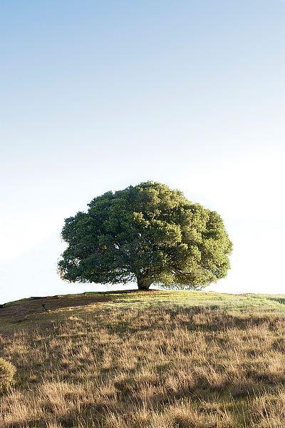 ABSFH131A - Blaustein, Alan - Oak Tree #77
