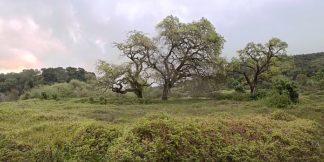 ABSFH162A - Blaustein, Alan - Oak Tree Pano #133