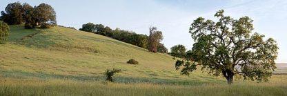 ABSFH173 - Blaustein, Alan - Oak Tree Pano #91