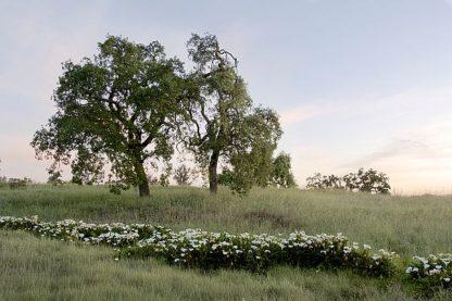 ABSFH179 - Blaustein, Alan - Oak Tree #85