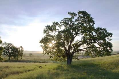 ABSFH187 - Blaustein, Alan - Oak Tree #96