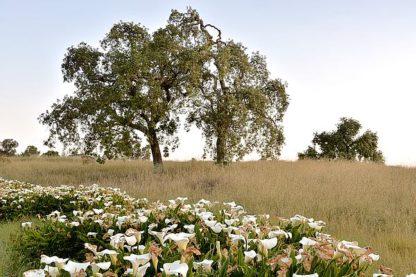 ABSFH189 - Blaustein, Alan - Oak Tree #94