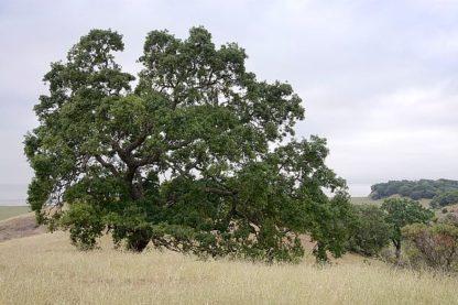 ABSFH249 - Blaustein, Alan - Oak Tree #107