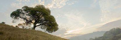 ABSFH39 - Blaustein, Alan - Oak Tree #10 Pano