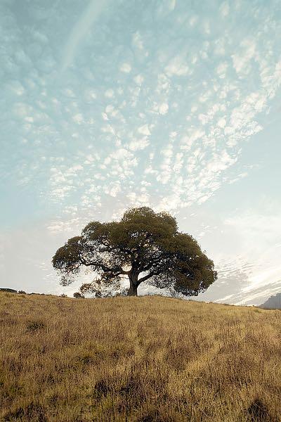 ABSFH39B - Blaustein, Alan - Oak Tree #12
