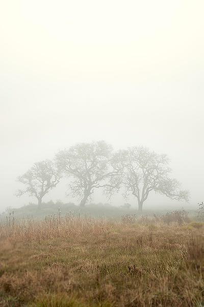 ABSFH42C - Blaustein, Alan - Oak Tree #17