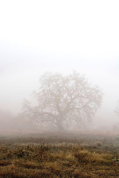 ABSFH45A - Blaustein, Alan - Oak Tree #29