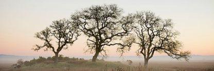 ABSFH49 - Blaustein, Alan - Oak Tree #30