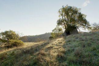 ABSFH50A - Blaustein, Alan - Oak Tree #36