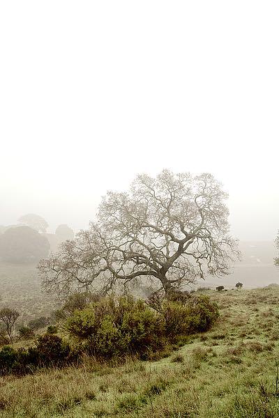 ABSFH53B - Blaustein, Alan - Oak Tree #43