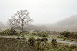 ABSFH60A - Blaustein, Alan - Oak Tree #57