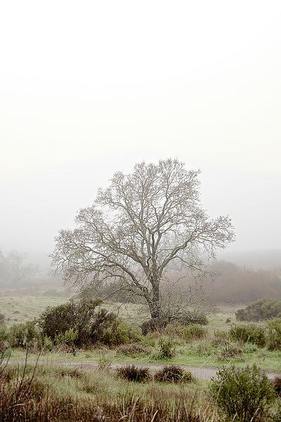 ABSFH60B - Blaustein, Alan - Oak Tree #56
