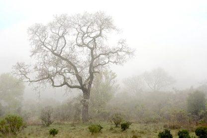 ABSFH61 - Blaustein, Alan - Oak Tree #62