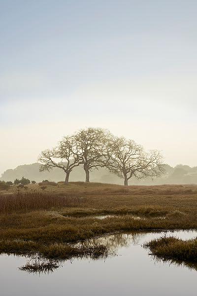 ABSFH66B - Blaustein, Alan - Oak Tree #66