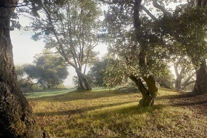 ABSFH70A - Blaustein, Alan - Oak Tree #70