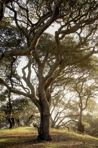 ABSFH70B - Blaustein, Alan - Oak Tree #69