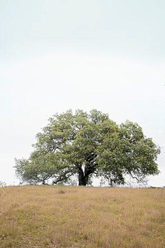 ABSFH74A - Blaustein, Alan - Oak Tree #73