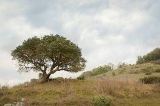 ABSFH76 - Blaustein, Alan - Oak Tree #75