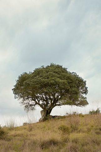ABSFH76A - Blaustein, Alan - Oak Tree #74