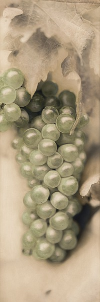B1085D - Blaustein, Alan - Pinot Blanc
