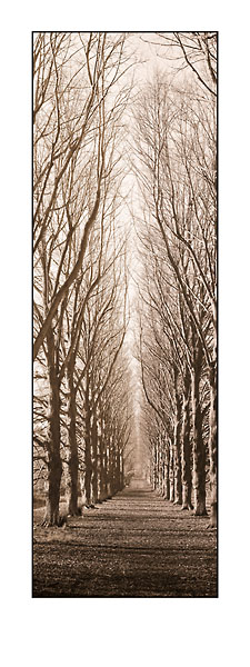 B944 - Blaustein, Alan - Poplar Trees