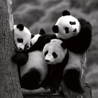 D904 - Delimont, Danita - Pandas