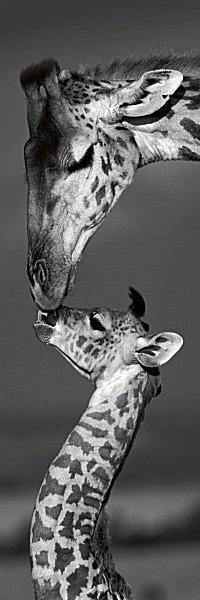 D923 - Delimont, Danita - Masai Mara Giraffes