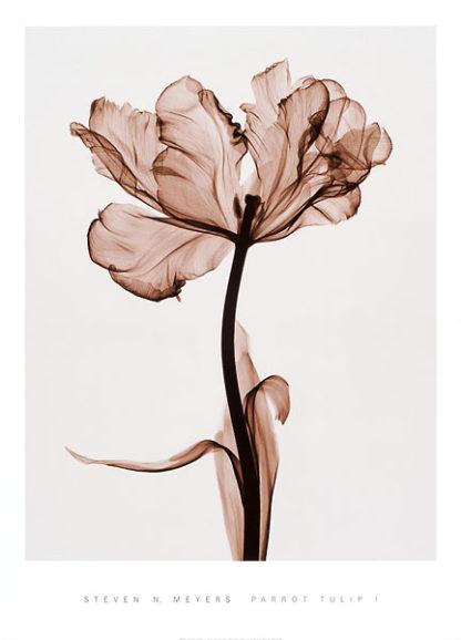 M797 - Meyers, Steven N. - Parrot Tulip I