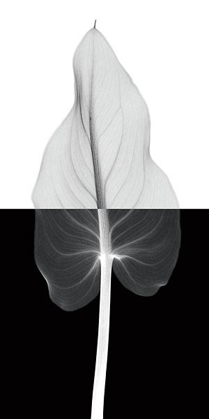 M933 - Meyers, Steven N. - Calla Leaf II