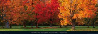 M980 - Mackie, Tom - Maple Trees in Autumn, White Mountains, New Hampshire