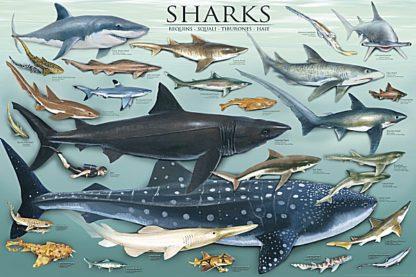 U624 - Unknown - Sharks