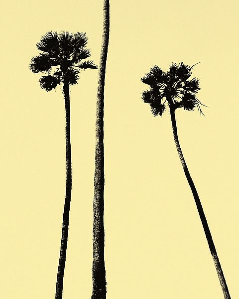 palm trees 2000 yellow image conscious
