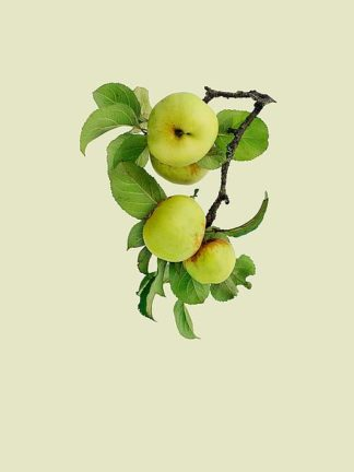 IN99028 - Incado - Apple tree I