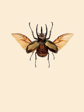 IN99030 - Incado - Chalcosoma atlas