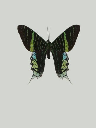 IN99038 - Incado - Green butterfly
