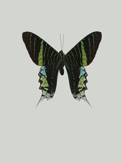 IN99038 - Incado - Green butterfly